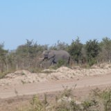 Elephant crossing the road in Botswana
