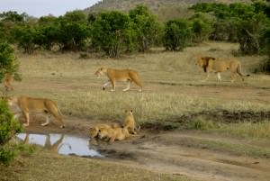 lions cubs in tanzania