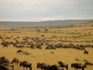 wildebeest migration on a budget