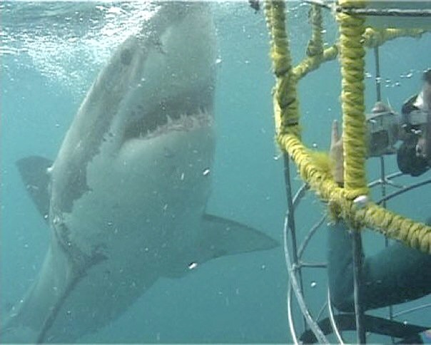 Cage diving with Great White Sharks, South Africa