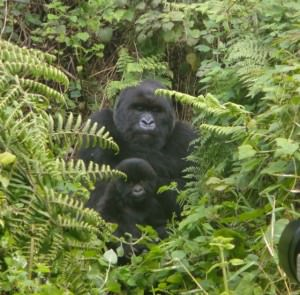 how much does it cost for the mountain gorillas in uganda?