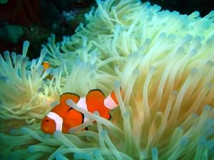 Clown Fish scuba diving