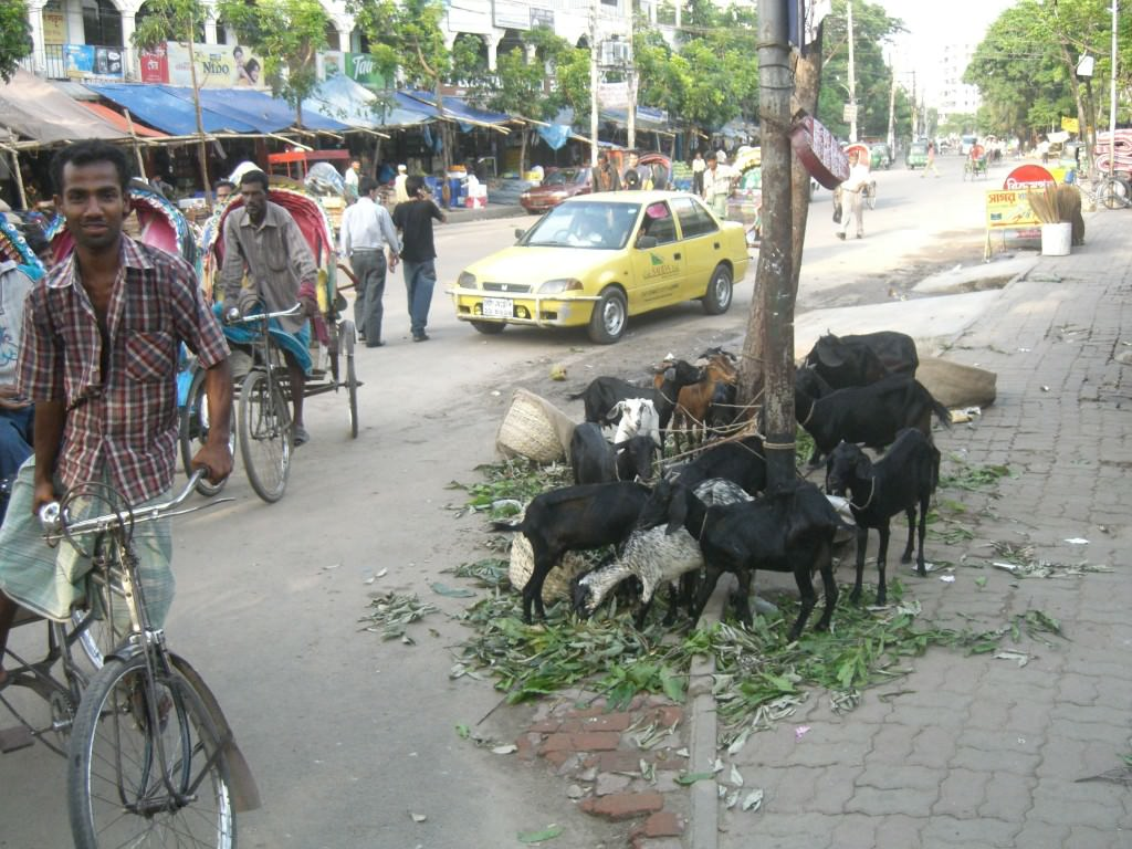 Backpacking in Bangladesh,   goats on the streets