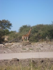 Giraffe crossing the road in Botswana