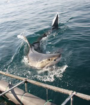 Great White Shark in Cape Town,   shark diving