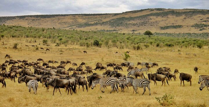 The wildebeest migration,   Serengeti