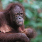 Orangutans in Borneo; How to See Them & How Much It Costs