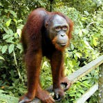 Seeing Orangutans in Borneo