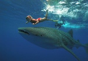 Ningaloo Reef whale shark diving