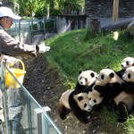 6 Things to do in Chengdu,   China  including Pandas and Ear cleaning!