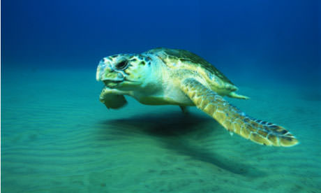 A-female-loggerhead-turtl-006