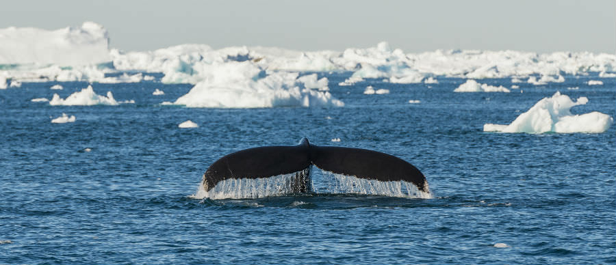 Greenland Whale Watching