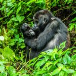 Come and Refurbish an orphanage & trek with Mountain Gorillas in February 2022!